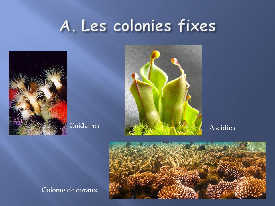 Les colonies fixes Cnidaires Ascidies Colonie de coraux