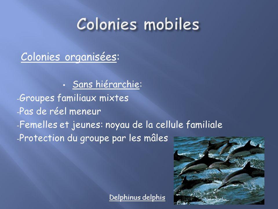Colonies mobiles Colonies organisées: Sans hiérarchie: