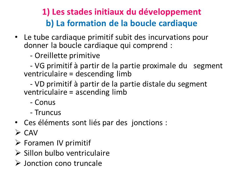 1) Les stades initiaux du développement b) La formation de la boucle cardiaque