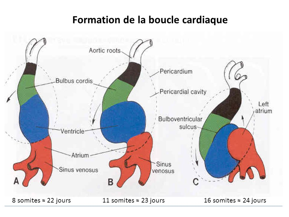 Formation de la boucle cardiaque