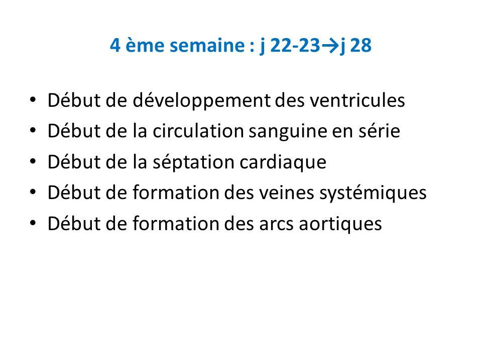 4 ème semaine : j 22-23→j 28 Début de développement des ventricules. Début de la circulation sanguine en série.