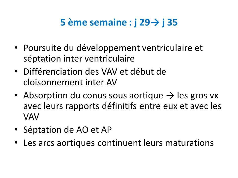 5 ème semaine : j 29→ j 35 Poursuite du développement ventriculaire et séptation inter ventriculaire.