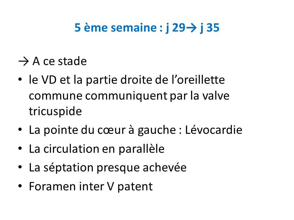 5 ème semaine : j 29→ j 35 → A ce stade. le VD et la partie droite de l'oreillette commune communiquent par la valve tricuspide.