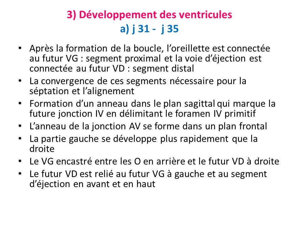 3) Développement des ventricules a) j 31 - j 35