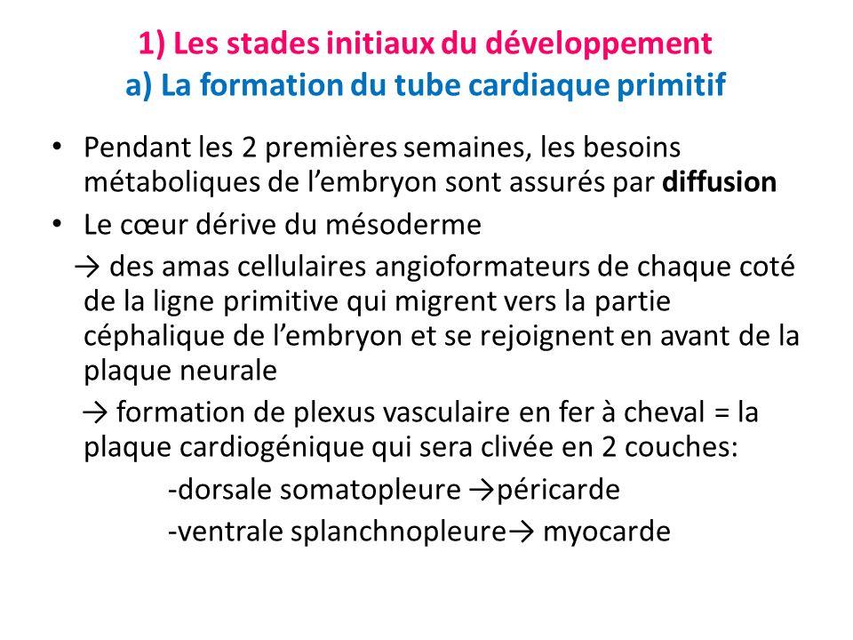 1) Les stades initiaux du développement a) La formation du tube cardiaque primitif