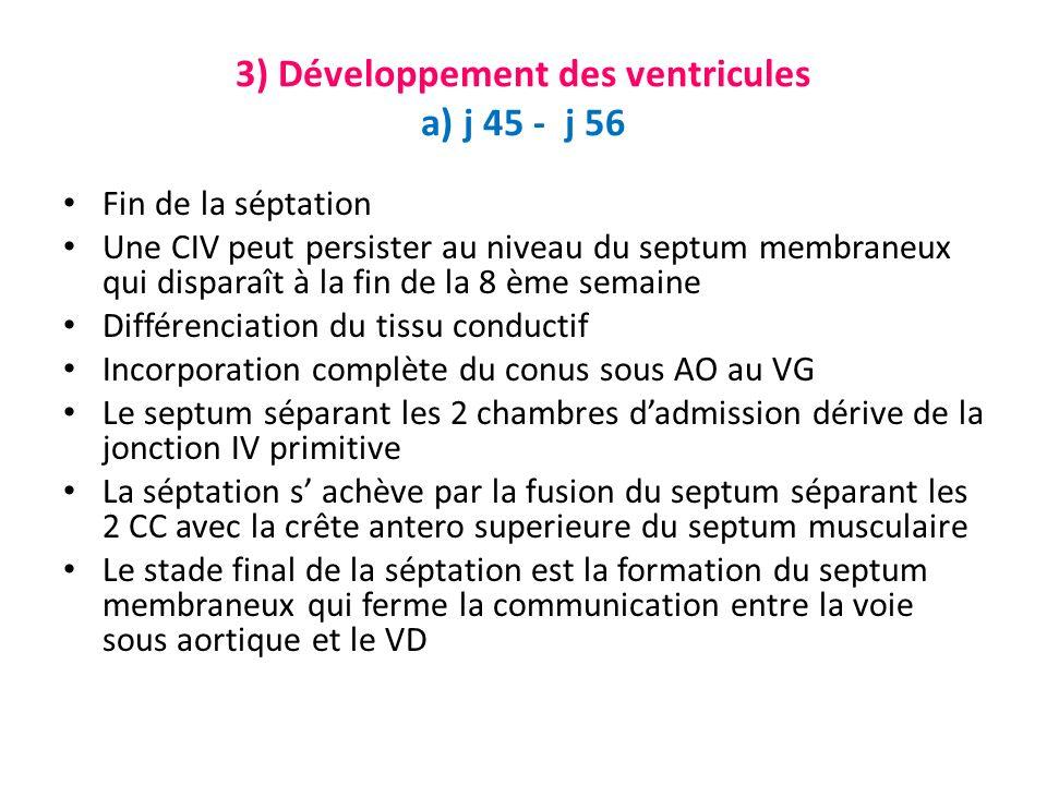 3) Développement des ventricules a) j 45 - j 56