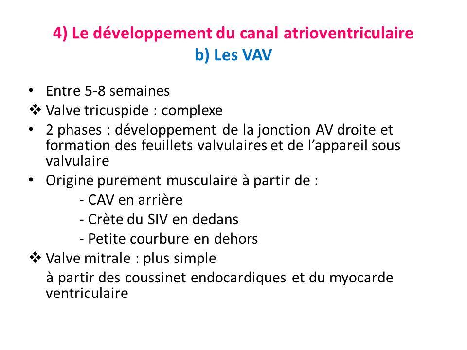 4) Le développement du canal atrioventriculaire b) Les VAV