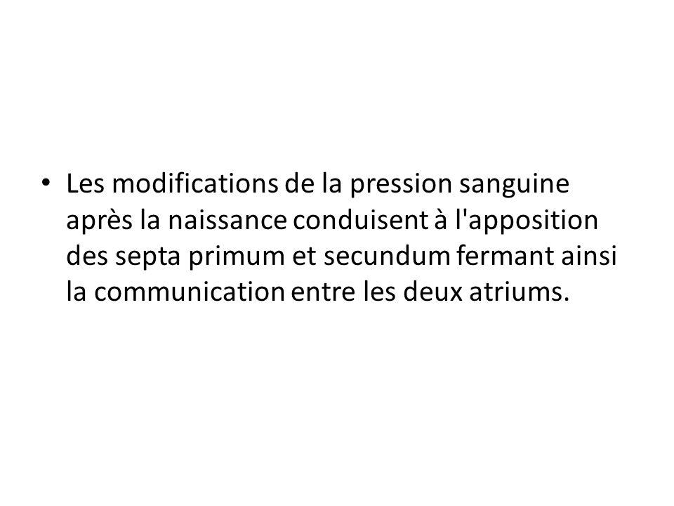 Les modifications de la pression sanguine après la naissance conduisent à l apposition des septa primum et secundum fermant ainsi la communication entre les deux atriums.