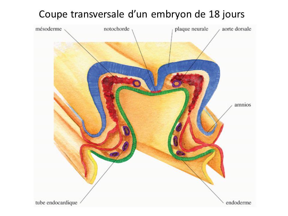 Coupe transversale d'un embryon de 18 jours