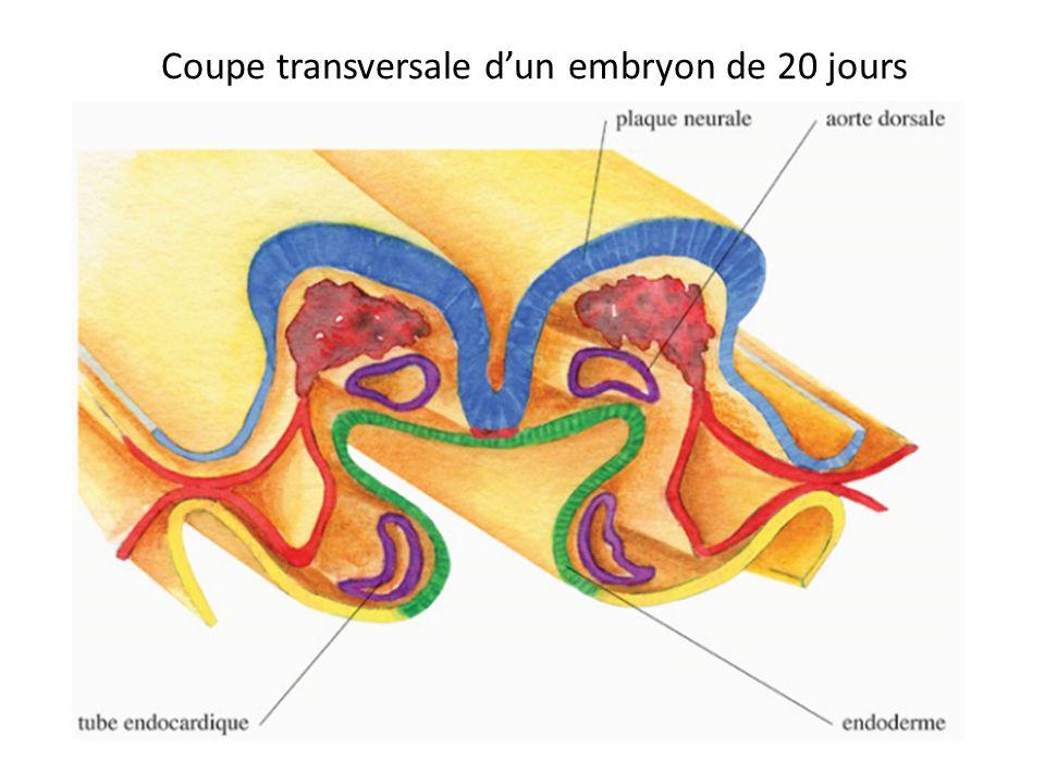 Coupe transversale d'un embryon de 20 jours