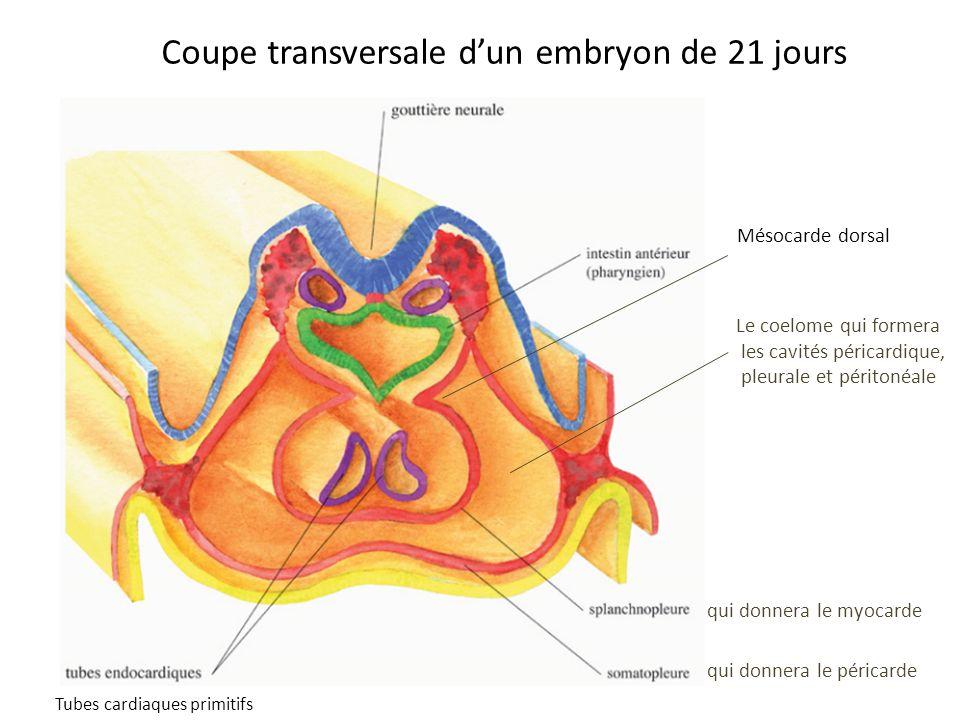 Coupe transversale d'un embryon de 21 jours