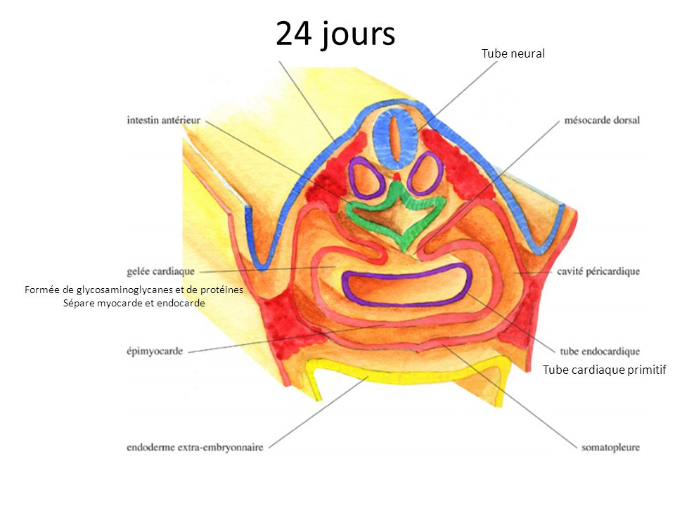 24 jours Tube neural Tube cardiaque primitif