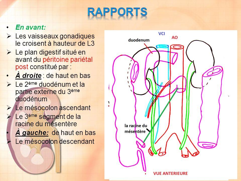 RAPPORTS En avant: Les vaisseaux gonadiques le croisent à hauteur de L3. Le plan digestif situé en avant du péritoine pariétal post constitué par :