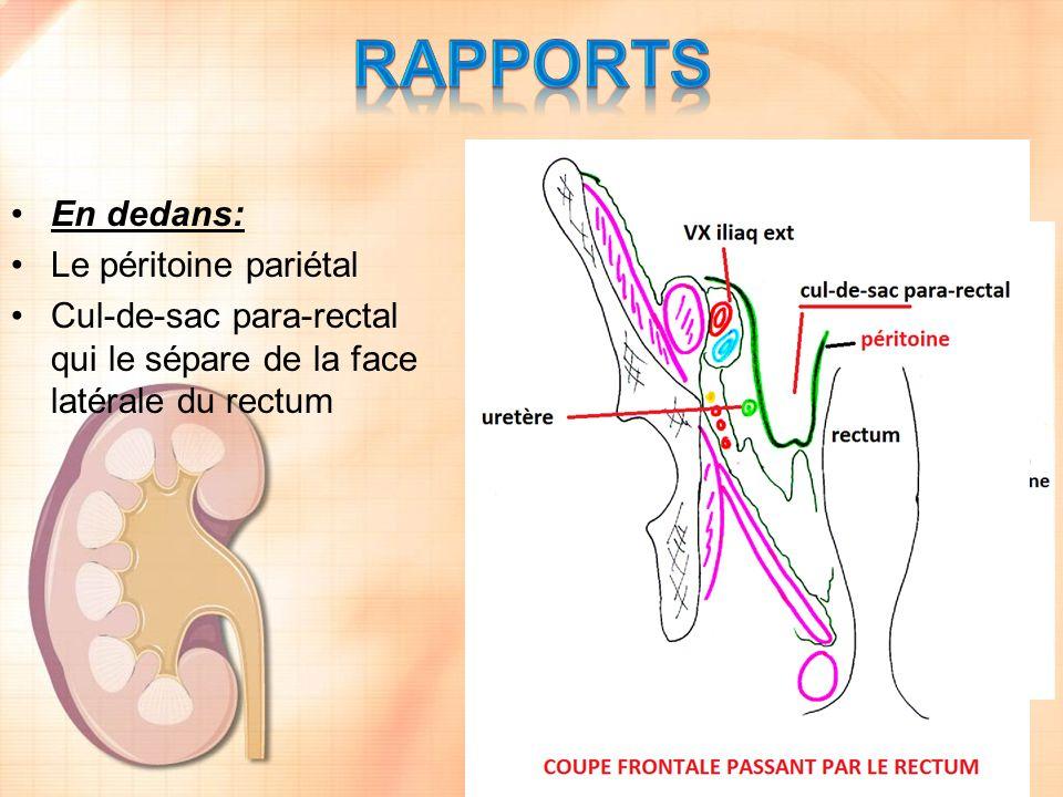 RAPPORTS En dedans: Le péritoine pariétal