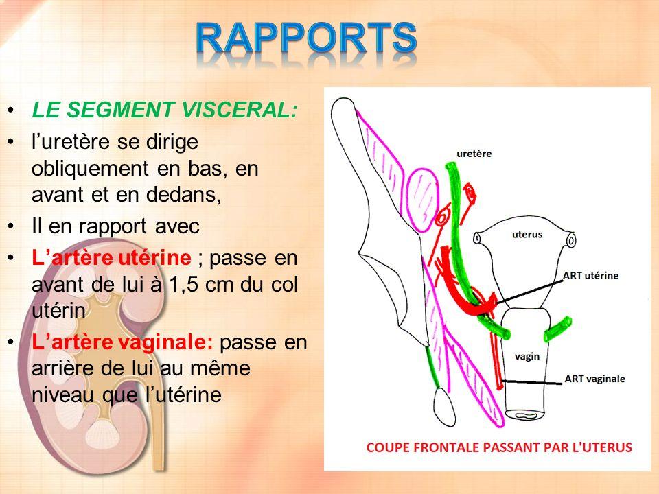 RAPPORTS LE SEGMENT VISCERAL: