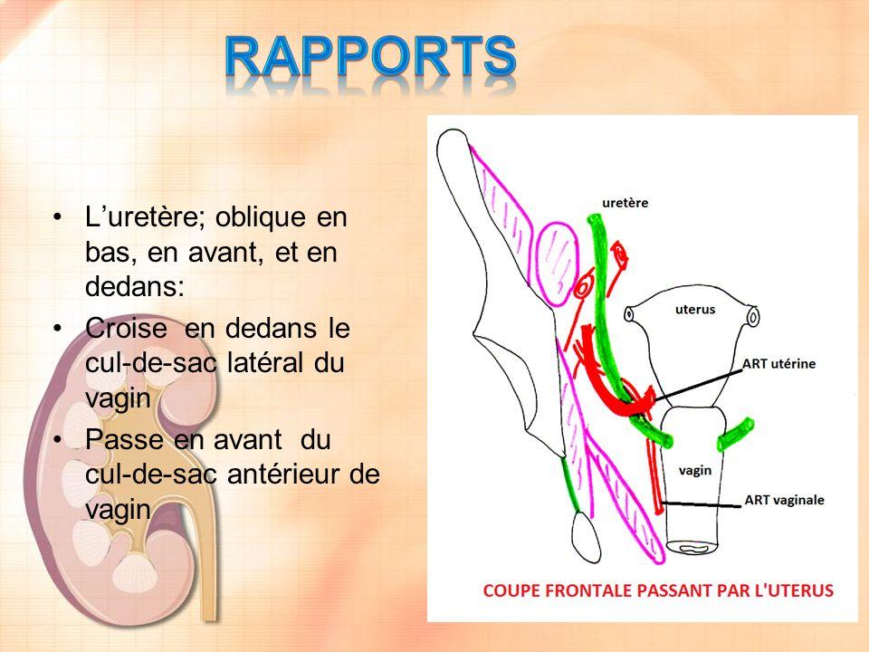 RAPPORTS L'uretère; oblique en bas, en avant, et en dedans: