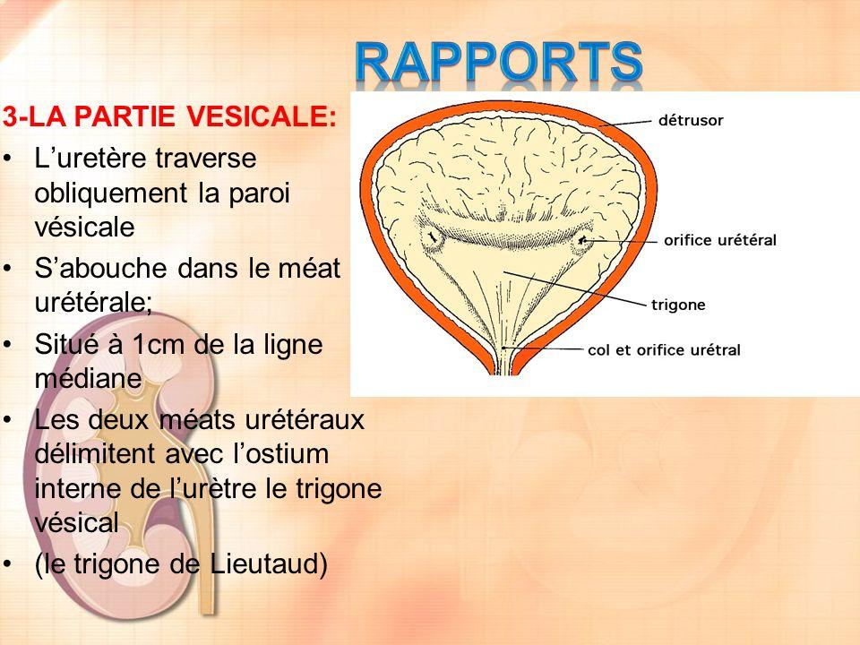 RAPPORTS 3-LA PARTIE VESICALE: