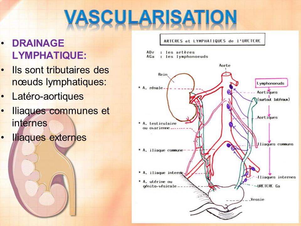 vascularisation DRAINAGE LYMPHATIQUE: