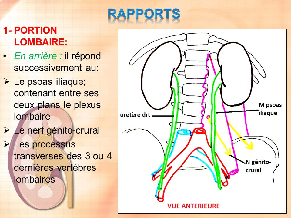 RAPPORTS 1- PORTION LOMBAIRE: