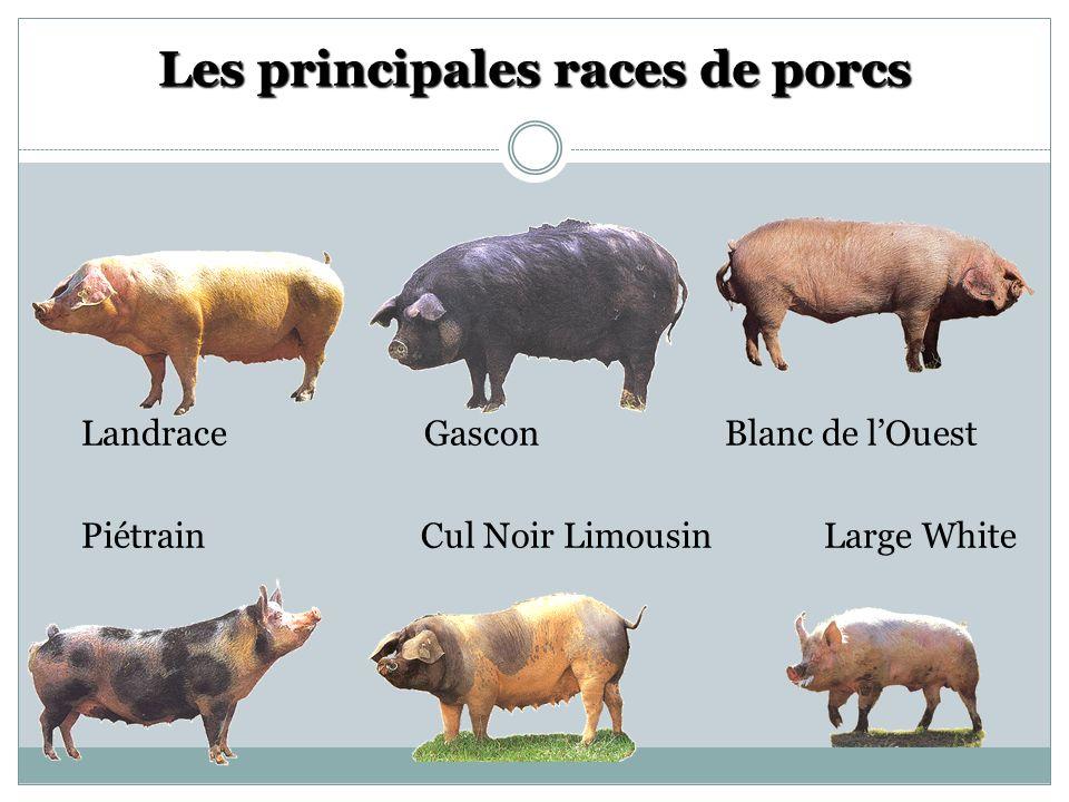 Les principales races de porcs