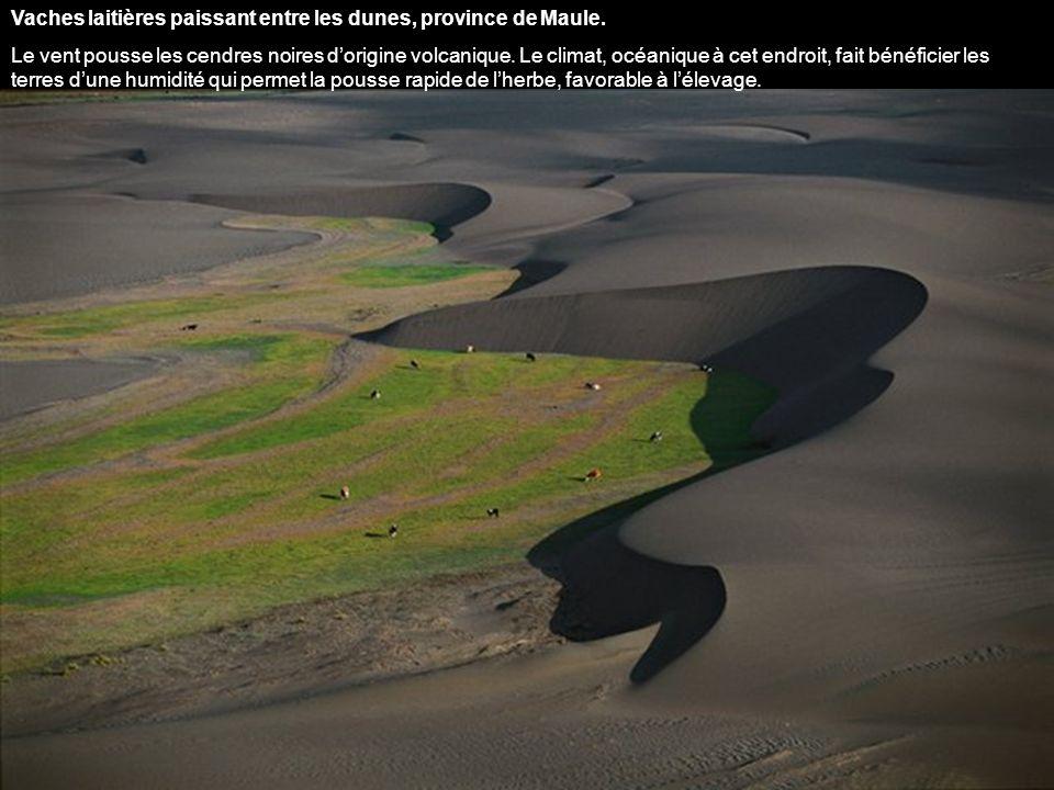 Vaches laitières paissant entre les dunes, province de Maule.