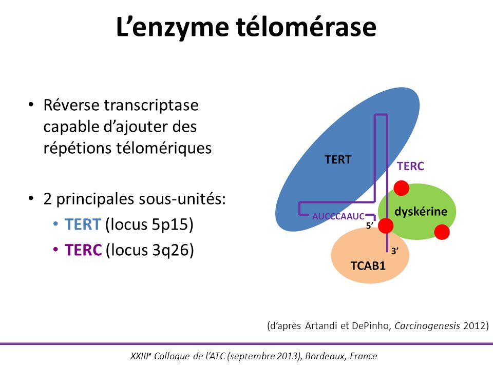L'enzyme télomérase Réverse transcriptase capable d'ajouter des répétions télomériques. 2 principales sous-unités: