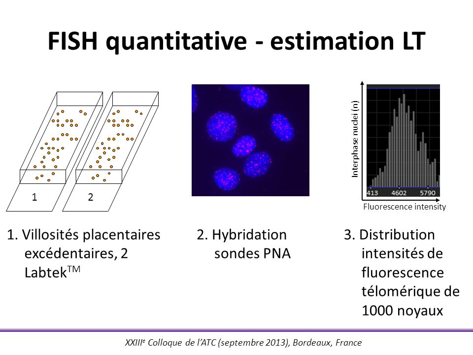 FISH quantitative - estimation LT