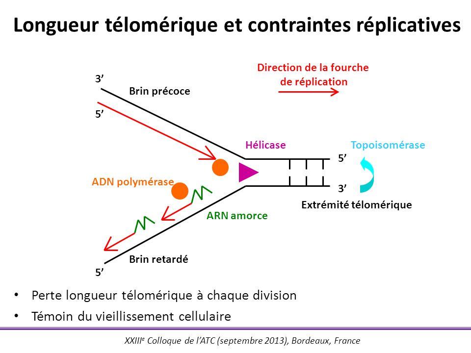 Longueur télomérique et contraintes réplicatives