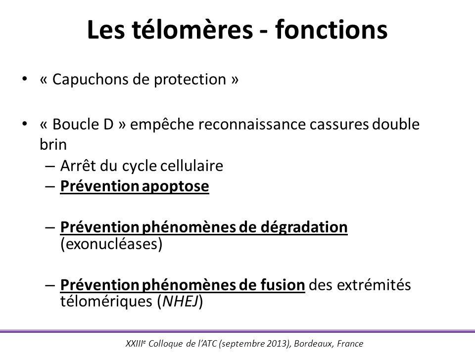 Les télomères - fonctions