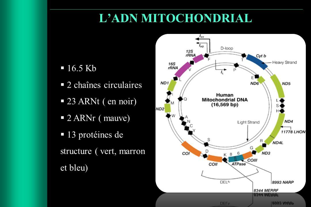 L'ADN MITOCHONDRIAL 16.5 Kb 2 chaînes circulaires 23 ARNt ( en noir)