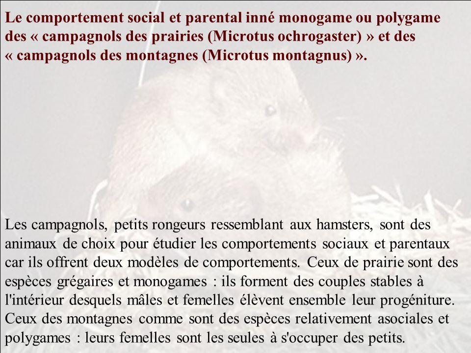 Le comportement social et parental inné monogame ou polygame des « campagnols des prairies (Microtus ochrogaster) » et des « campagnols des montagnes (Microtus montagnus) ».