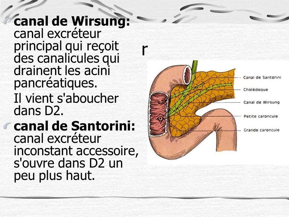 canal de Wirsung: canal excréteur principal qui reçoit des canalicules qui drainent les acini pancréatiques.