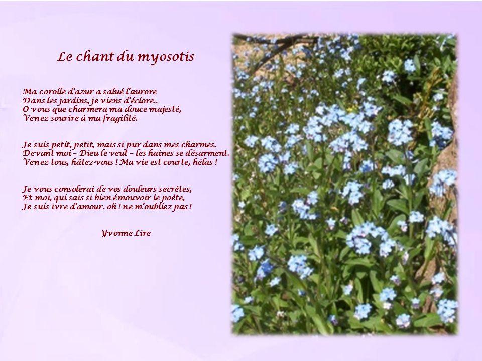 Le chant du myosotis Ma corolle d'azur a salué l'aurore