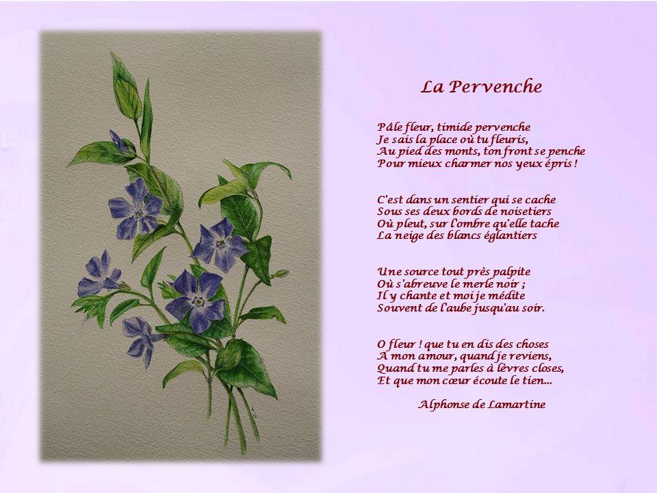 La Pervenche Pâle fleur, timide pervenche