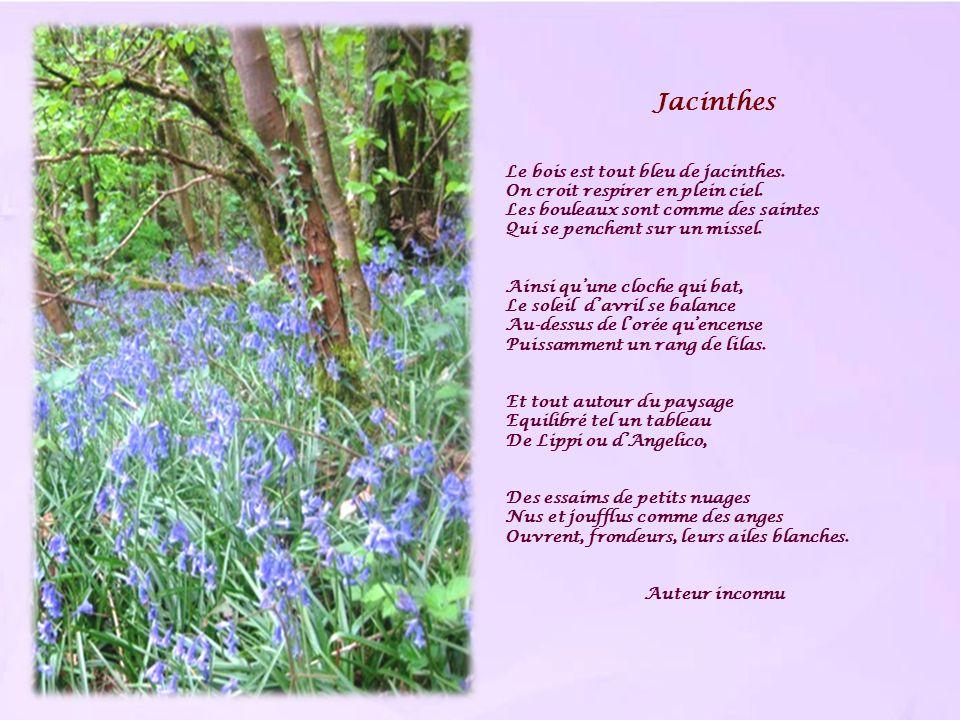 Jacinthes Le bois est tout bleu de jacinthes.