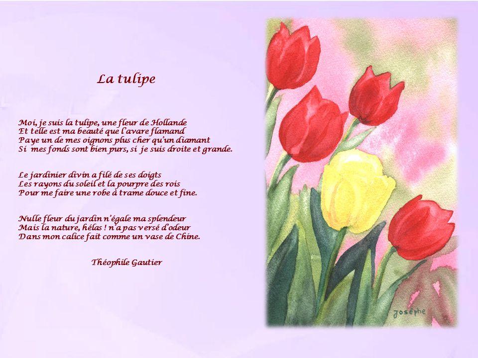 La tulipe Moi, je suis la tulipe, une fleur de Hollande