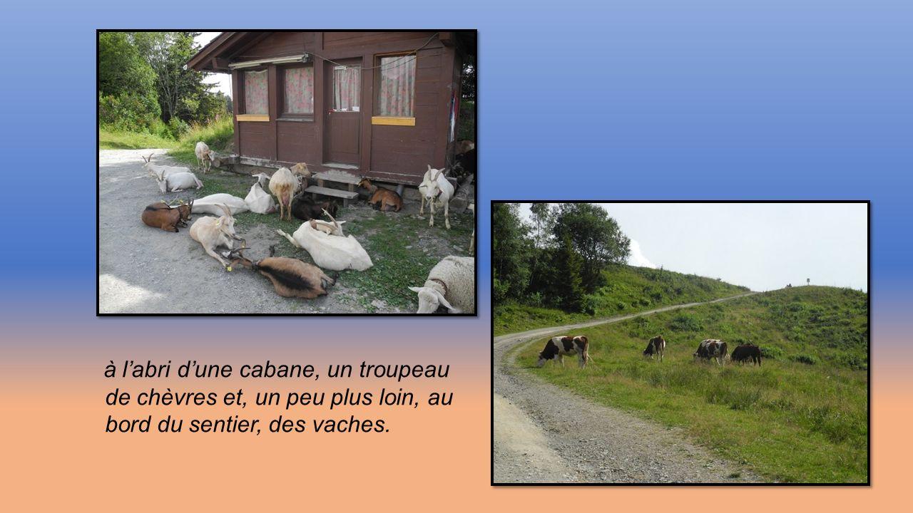 de chèvres et, un peu plus loin, au bord du sentier, des vaches.