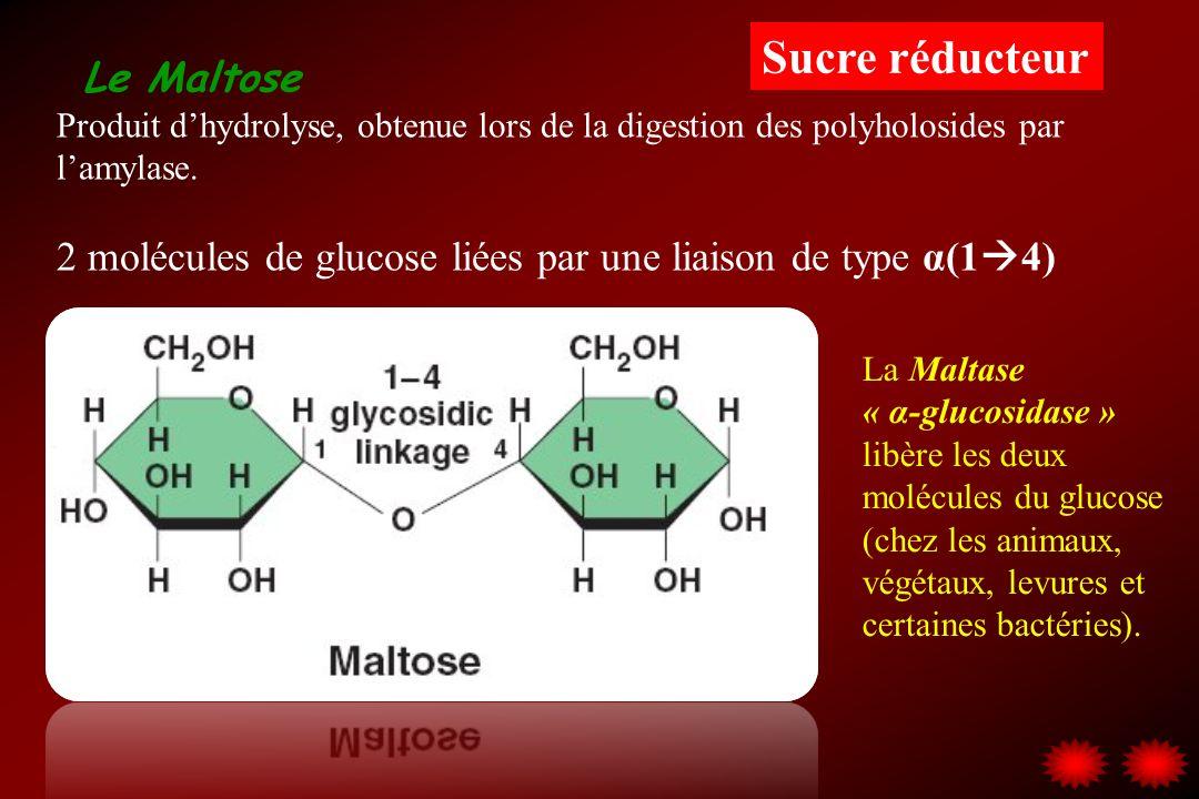 Sucre réducteur Le Maltose. Produit d'hydrolyse, obtenue lors de la digestion des polyholosides par l'amylase.