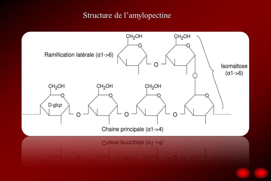 Structure de l'amylopectine