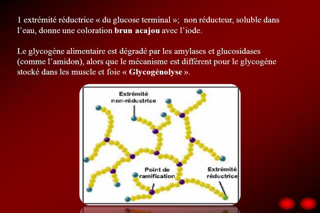 1 extrémité réductrice « du glucose terminal »; non réducteur, soluble dans l'eau, donne une coloration brun acajou avec l'iode.