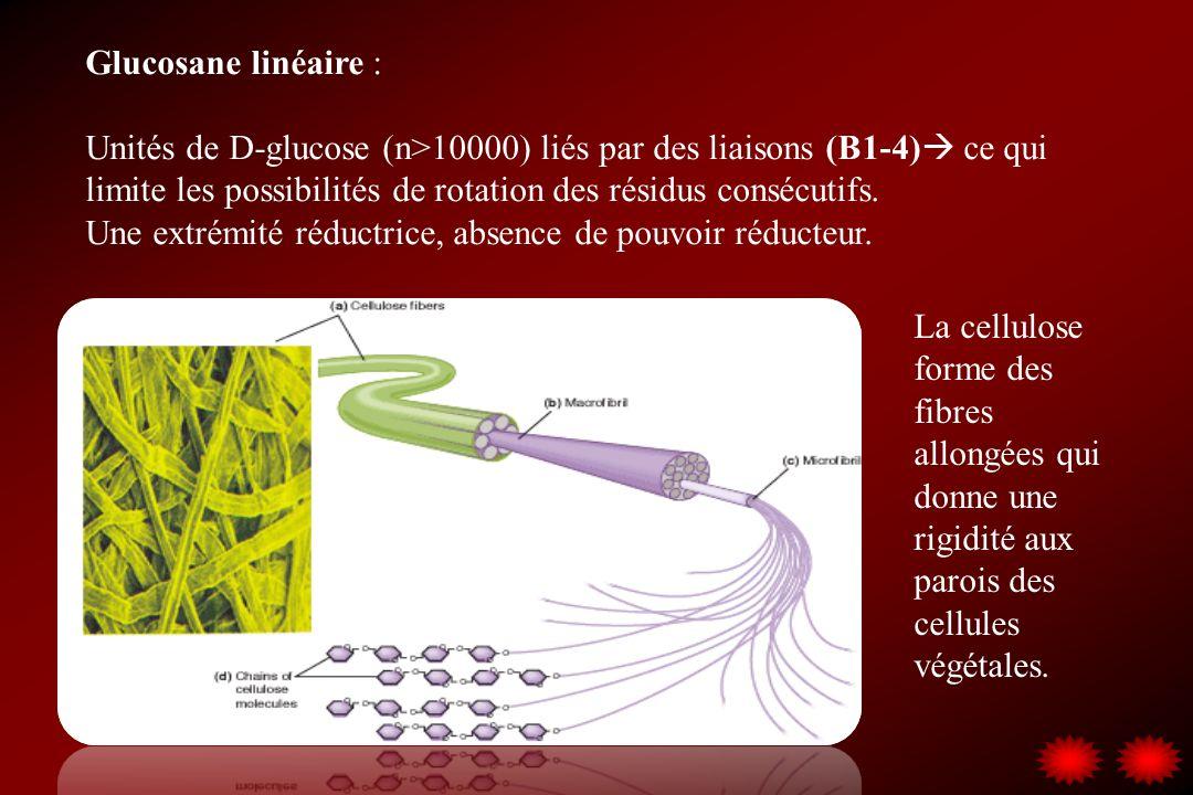 Glucosane linéaire : Unités de D-glucose (n>10000) liés par des liaisons (B1-4) ce qui limite les possibilités de rotation des résidus consécutifs.