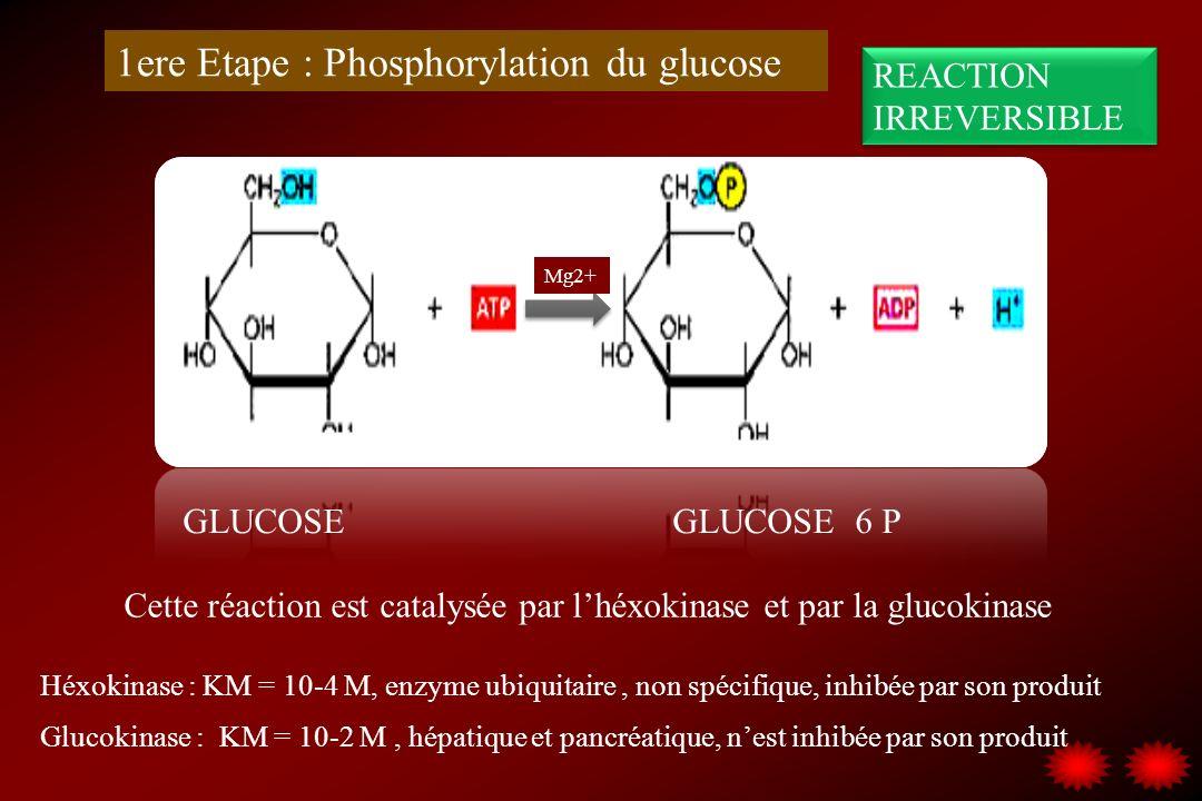 1ere Etape : Phosphorylation du glucose