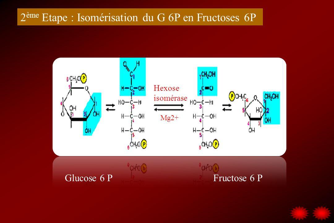 2ème Etape : Isomérisation du G 6P en Fructoses 6P