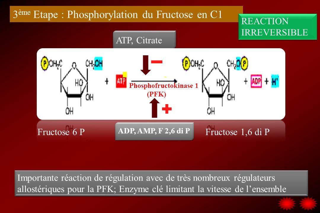 3ème Etape : Phosphorylation du Fructose en C1