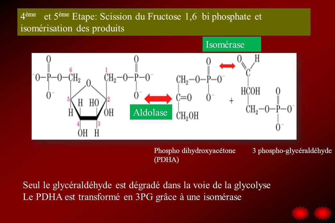 Seul le glycéraldéhyde est dégradé dans la voie de la glycolyse