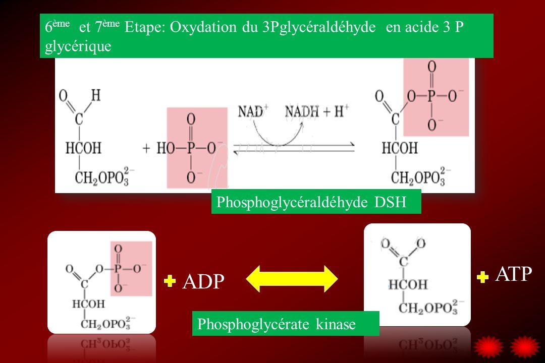 6ème et 7ème Etape: Oxydation du 3Pglycéraldéhyde en acide 3 P glycérique