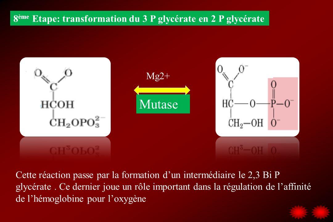 Mutase 8ème Etape: transformation du 3 P glycérate en 2 P glycérate