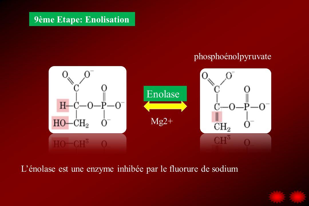 Enolase 9ème Etape: Enolisation phosphoénolpyruvate Mg2+