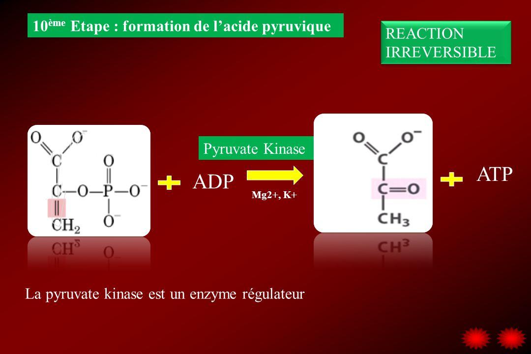 ATP ADP 10ème Etape : formation de l'acide pyruvique