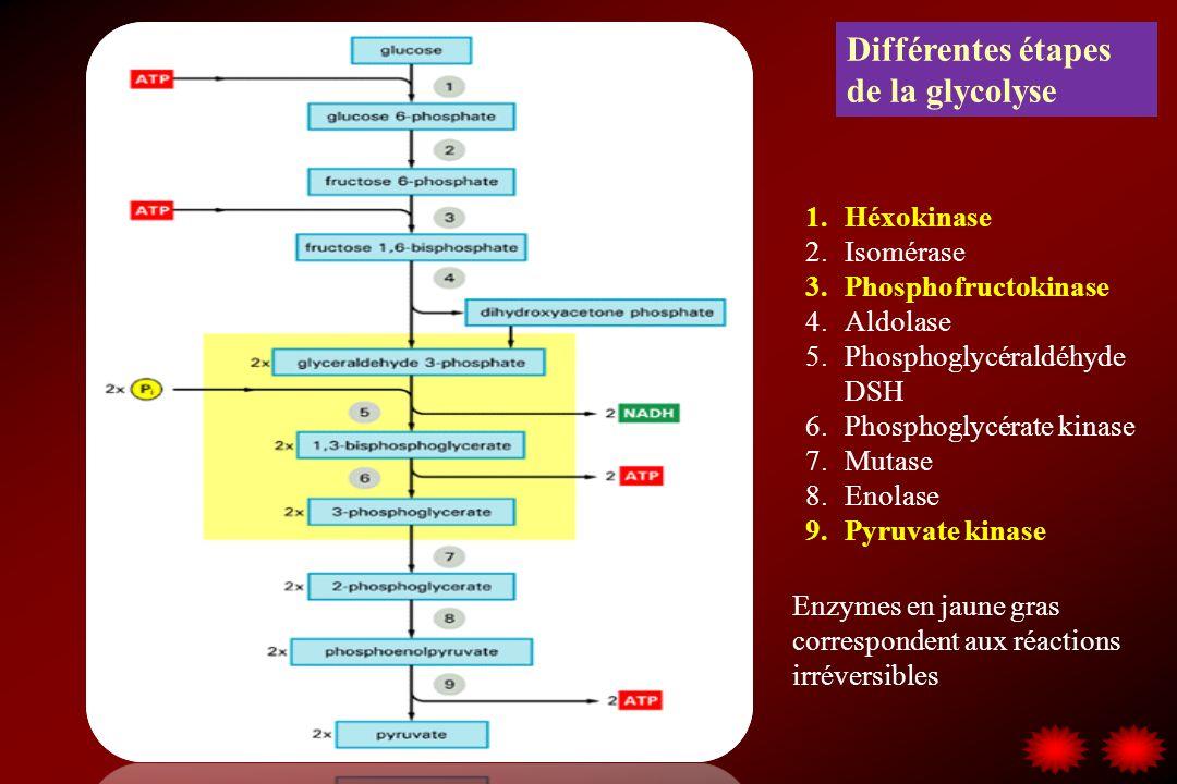 Différentes étapes de la glycolyse